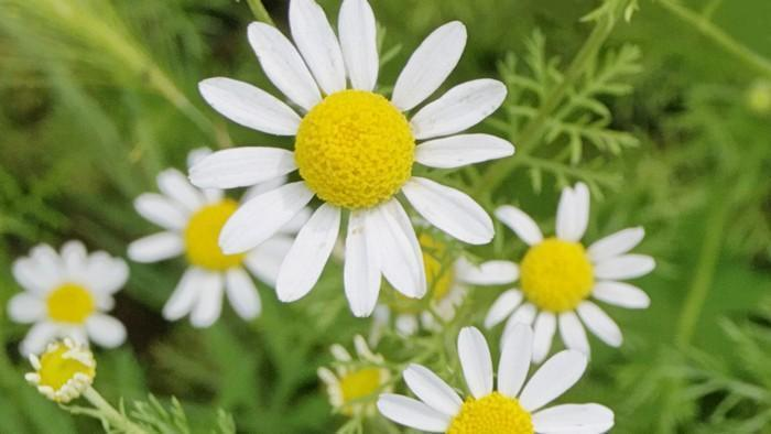 essential oil of Chamomile-Roman Anxiety
